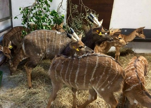 nyala arrive from south africa for regional breeding programme zoo