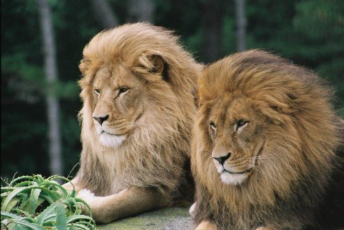Zoos collaborate to advocate and share love for lions | Zoo