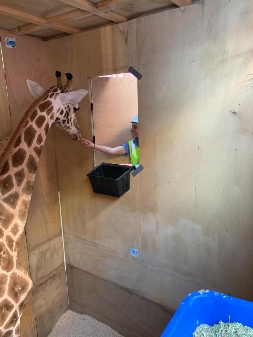 Giraffe arrives at Wellington Zoo | Zoo